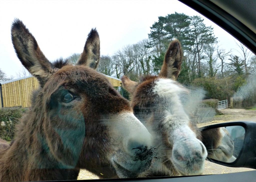 New Forest donkeys saying hello to our car