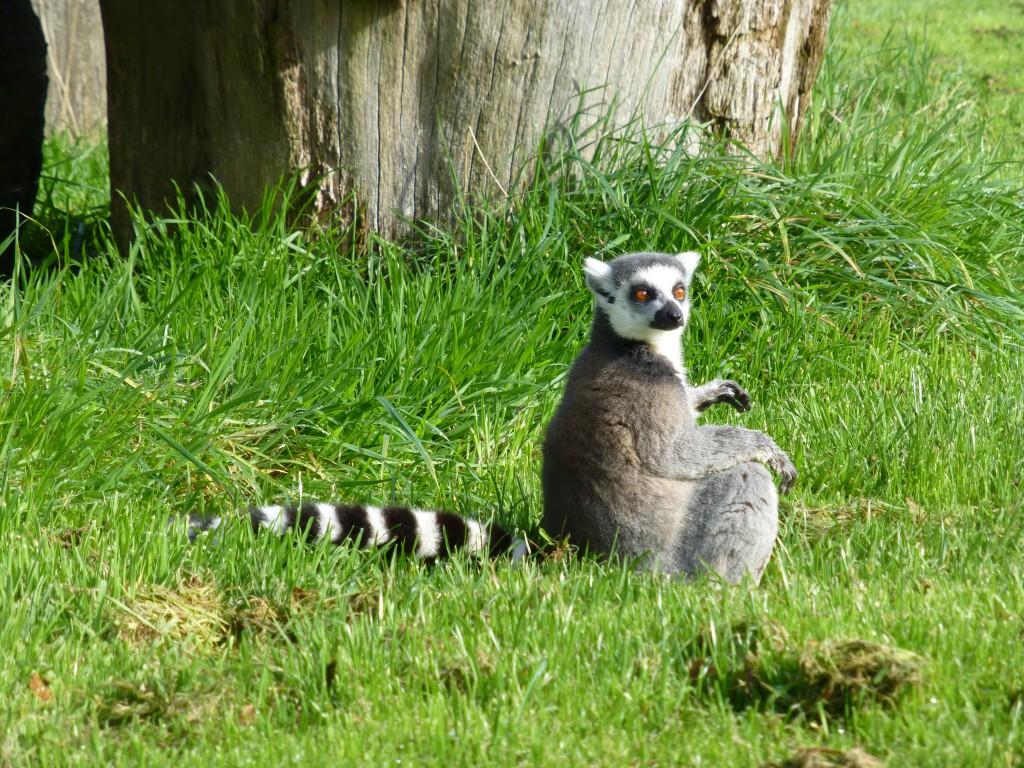 Lemur at Longleat