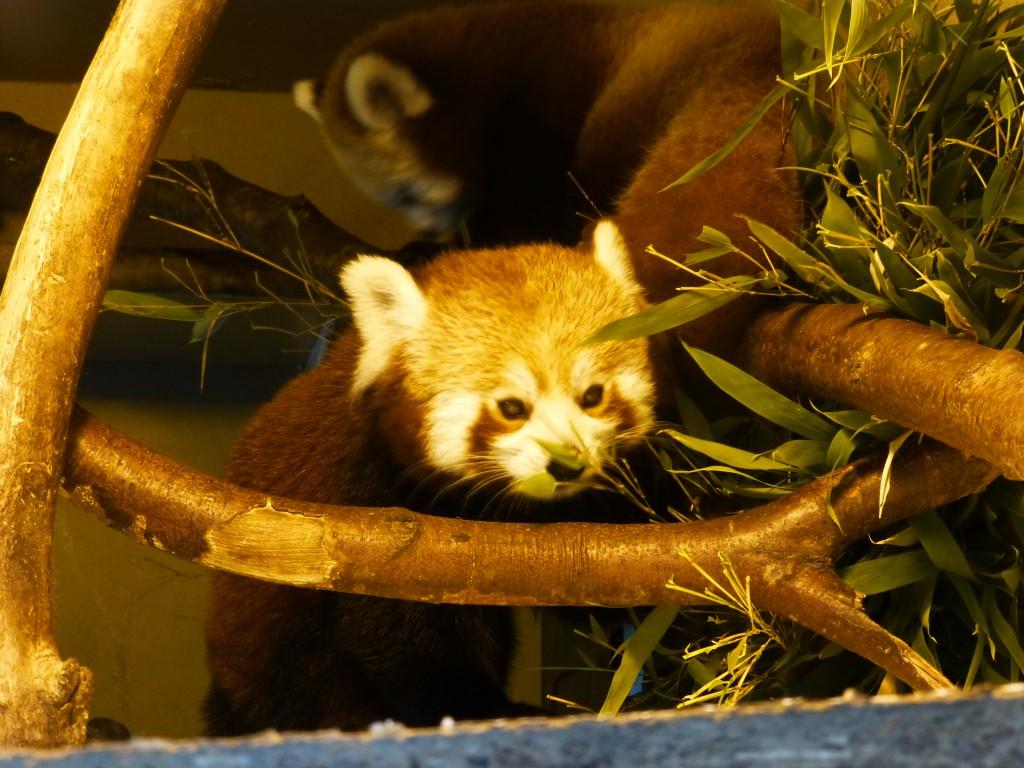 Red Panda at Longleat