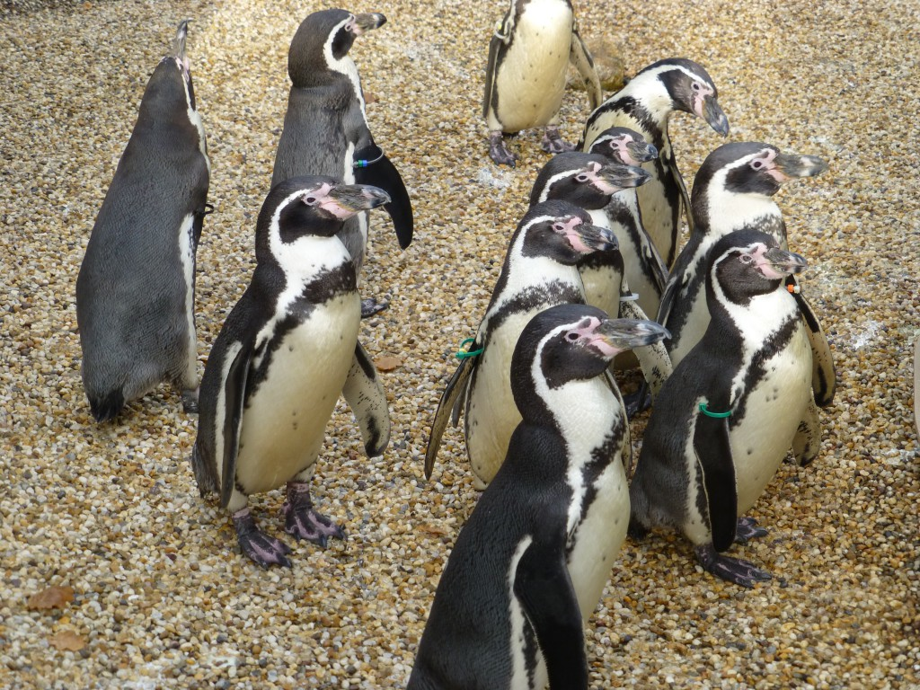 Penguins at Longleat