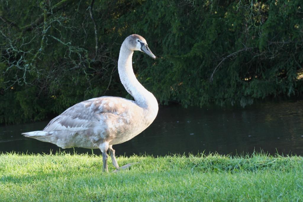 Mottisfont National Trust swan