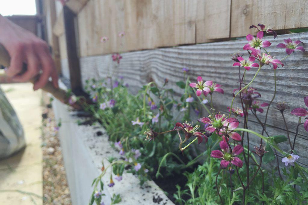 Saxifrage flowers in garden