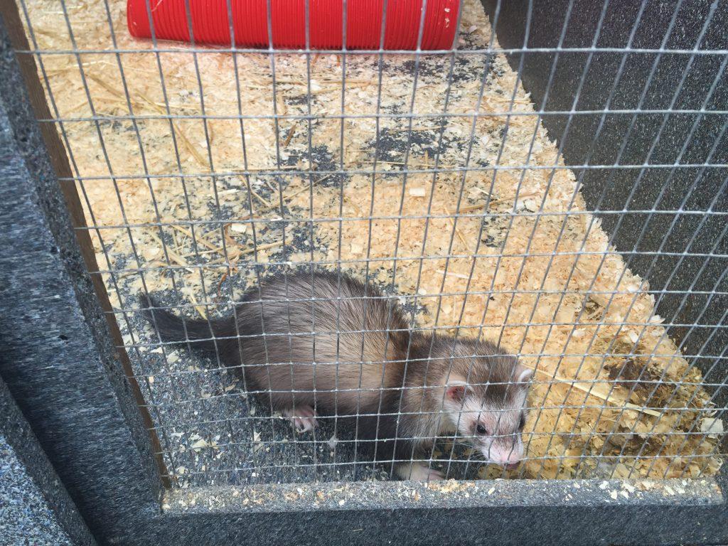 Porton Pet Shop ferret