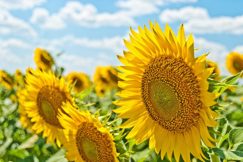 maternity leave summer bucket list stock photo of sunflowers